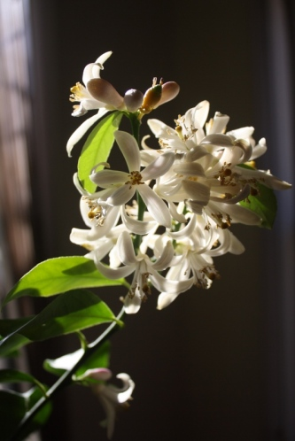 Good To Grow, Liza's photos, Lemon tree blooming in my foyer