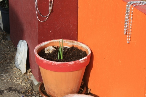 Good To Grow, Liza's photos, the little onion that wanted to grow