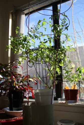 Good To Grow, Liza's tomato plant