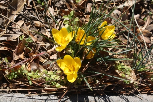 Good To Grow, Liza's photos, Crocus flowers in Albuquerque