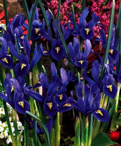 iris_rock_garden_harmony_main