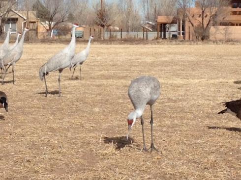 Good To Grow, Liza's photos, Sandhill Cranes in Albuquerque