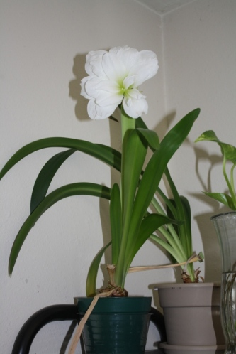 Good To Grow, Liza's photos, Hippeastrum rebloom
