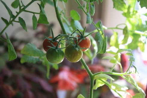 Good To Grow, Liza's photos, crazy ol' tomato plant