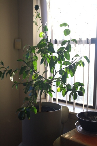 Good To Grow, Liza's photos, Liza's lemon tree