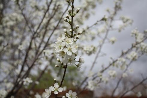 Good To Grow, Liza's photos, plum tree blossoms