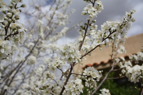 Good To Grow, Liza's photos, plum tree blossoms
