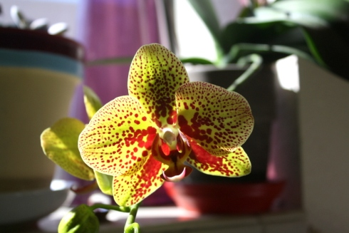 Good To Grow, Liza's photos, Phael Orchid Rebloom