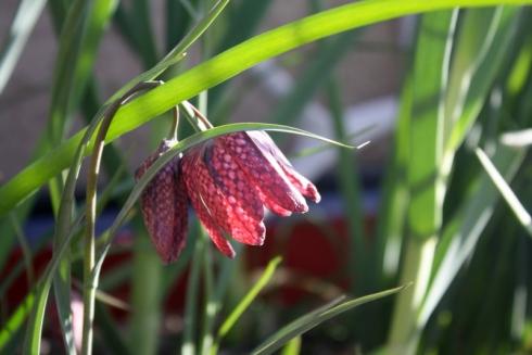 Good To Grow, Liza's photos, pretty Fritillaria