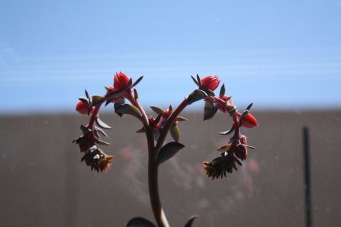 Good To Grow, Liza's photos, the blooming Echeveria