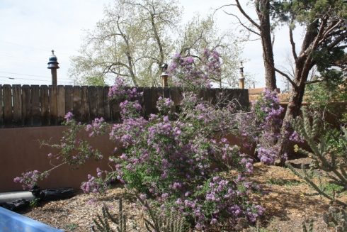 Good To Grow, Liza's photos, ever-cheerful Lilac