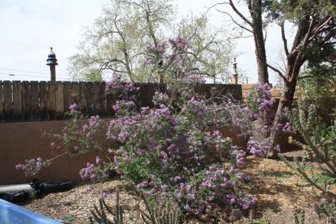 Good To Grow, Liza's photos, ever-cheerful Lilac