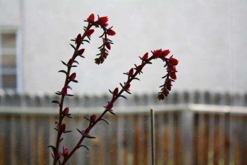 Good To Grow, Liza's photos, Liza's blooming Echeveria