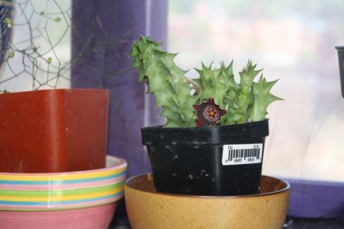 Good To Grow, Liza's plants, Huernia bloom