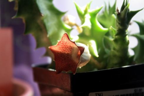 Good To Grow, Liza's photos, Huernia flower