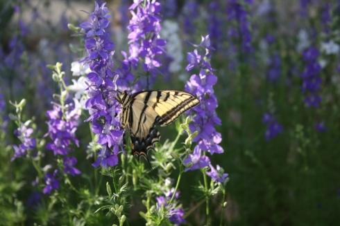 Good To Grow, Liza's photos, Western Tiger Swallowtail
