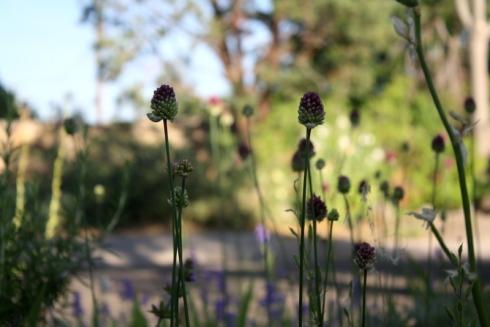 Good To Grow, Liza's photos, Alliums