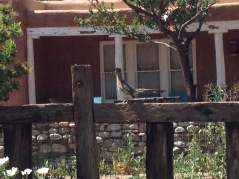 Good To Grow, Liza's photos, New Mexico Roadrunner