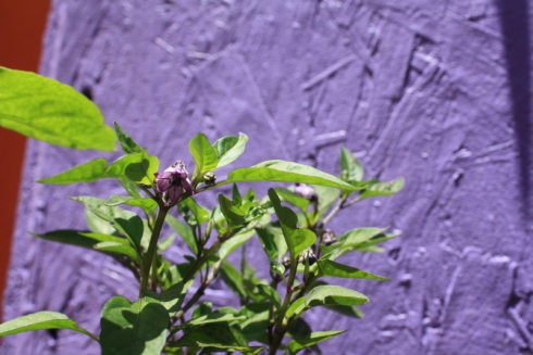 Good To Grow, Liza's photos, purple pepper blossoms