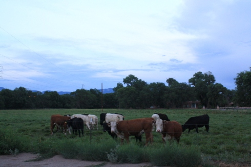 Good To Grow, Liza's photos, cows in Albuquerque