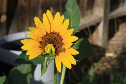 Good To Grow, Liza's photos, sunflower in the morning light