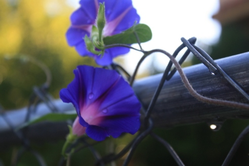 Good To Grow, Liza's photos, Morning Glories After the Rain
