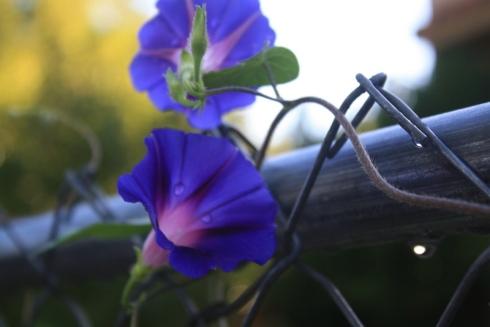 Good To Grow, Liza's photos, Morning Glories After the Rain
