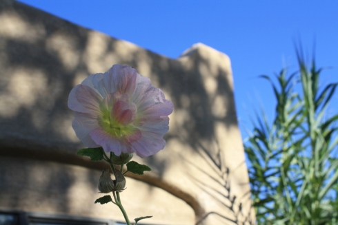 Good To Grow, Liza's photos, lone Hollyhock flower in the late summer