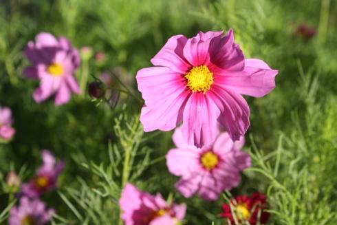 Good To Grow, Liza's photos, Cosmos flowers