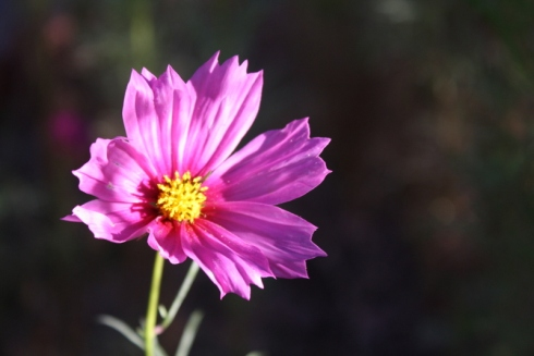 Good To Grow, Liza's photos, Cosmos flowers