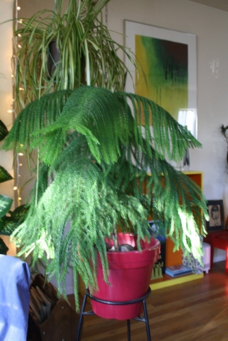 Good To Grow, Liza's photos, Peach the Norfolk Island Pine