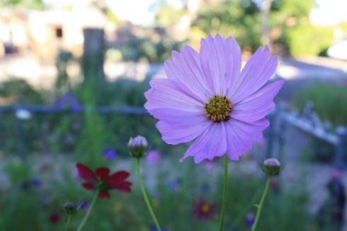 Good To Grow, Liza'a photos, Cosmos Flowers