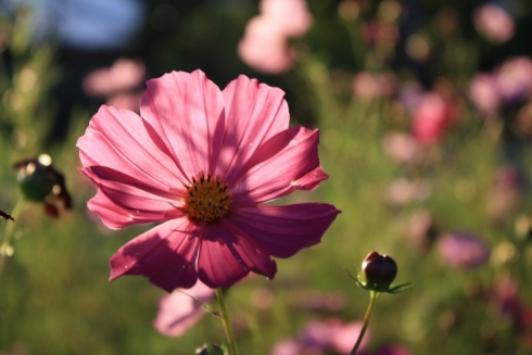 Good To Grow, Liza's photos, Cosmos Flower