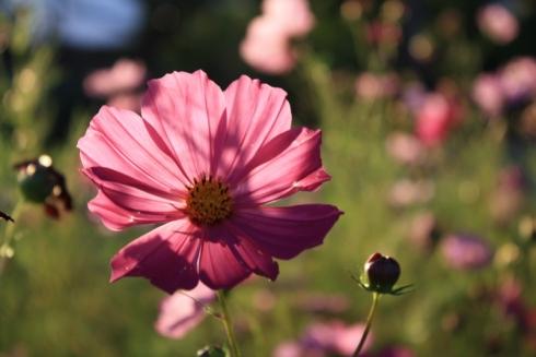 Good To Grow, Liza's photos, Cosmos Flower