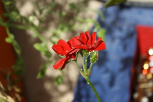 Good To Grow, Liza's photos, Pelargonium bloom
