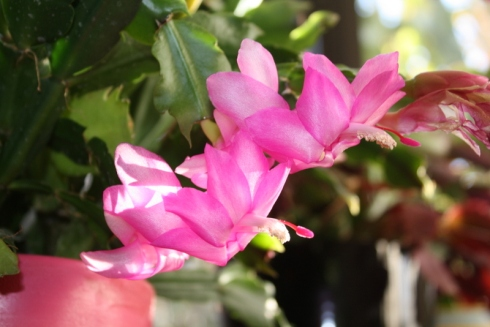 Good To Grow, Liza's photos, blooming Schlumbergera plants