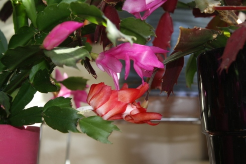 Good To Grow, Liza's photos, Schlumbergera blooms