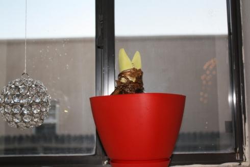 Good To Grow, Liza's photos, Hippeastrum season!