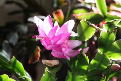 Good To Grow, Liza's photos, Schlumbergera photos