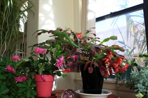 Good To Grow, Liza's photos, Schlumbergera Plants
