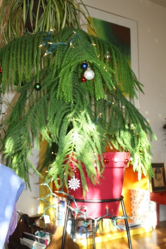 Good To Grow, Liza's photos, Peach a Norfolk Island Pine