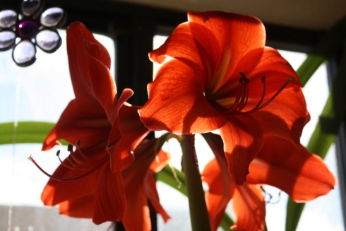 Good To Grow, Liza's photos, Amaryllis love