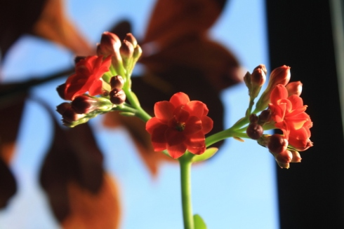 Good To Grow, Liza's photos, Kalanchoe flowers