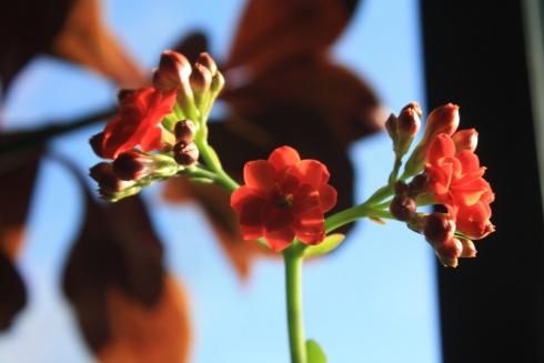 Good To Grow, Liza's photos, Kalanchoe flowers