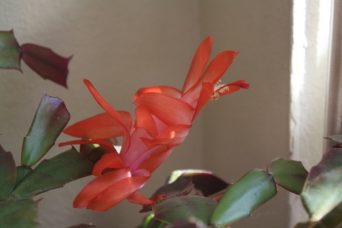 Good To Grow, Liza's photos, Schlumbergera bloom