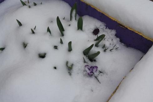 Good To Grow, Liza's photos, crocuses peeking through the snow