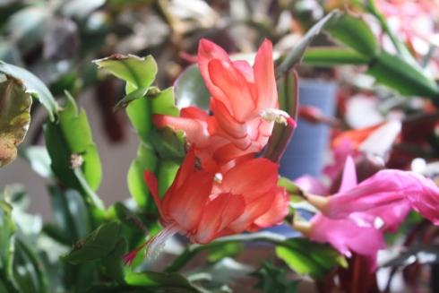 Good To Grow, Liza's photos, Schlumbergera flowers