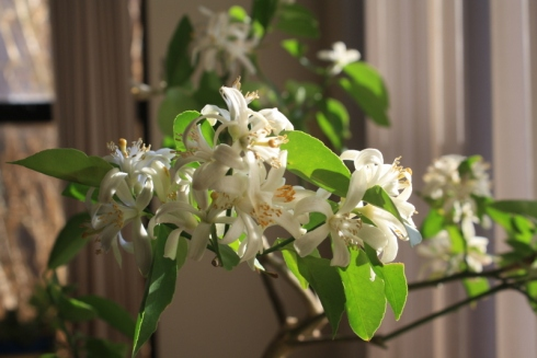 Good To Grow, Liza's photos, Lemon Tree Flowers