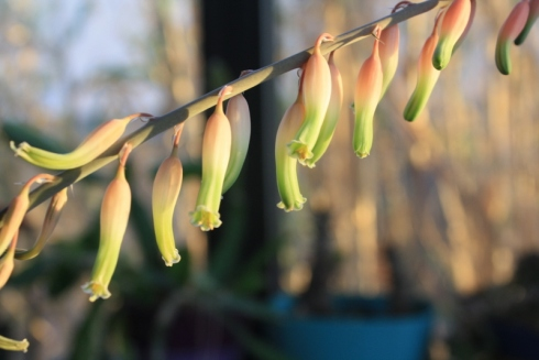 Good To Grow, Liza's photos, Gasteraloe blooms
