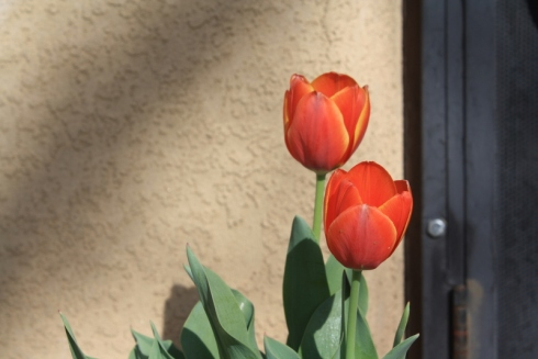 Good To Grow, Liza's photos, pretty tulips against an adobe wall